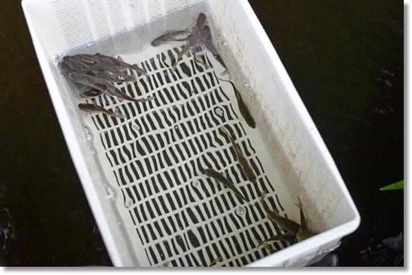 容器の中を泳ぐキタノアカヒレタビラ