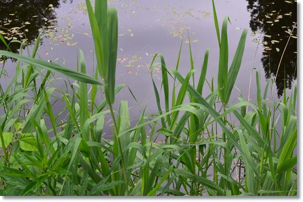 水草に繁茂する溜池