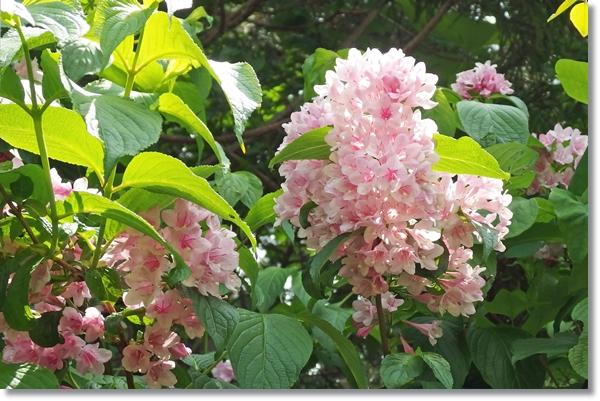 満開のタニウツギの花