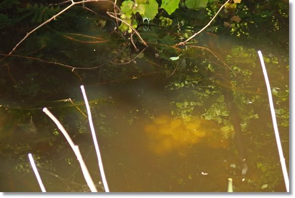 野池の中に見えるクロサンショウウオの卵