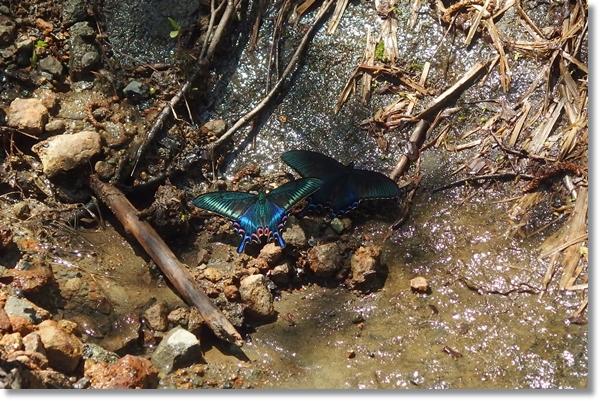 吸水するミヤマアゲハ