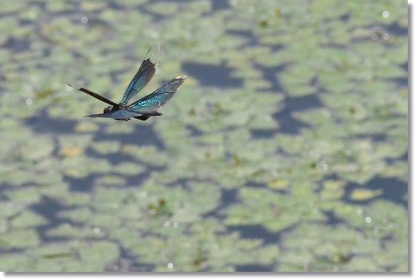 池の上を飛行するチョウトンボのオス