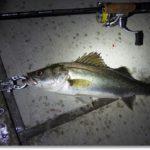 メバルタックルでセイゴ釣りのはずが