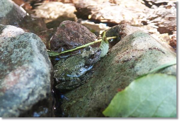 岩の間に身を寄せるカジカガエル