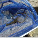 宮城県南河川テナガエビ釣りに挑戦!
