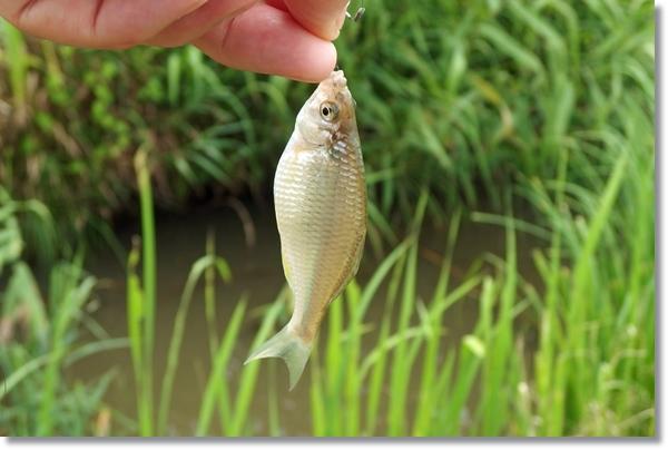 釣れたカネヒラを指でつまみ上げる