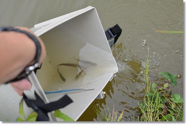 容器から池にゼニタナゴを放流