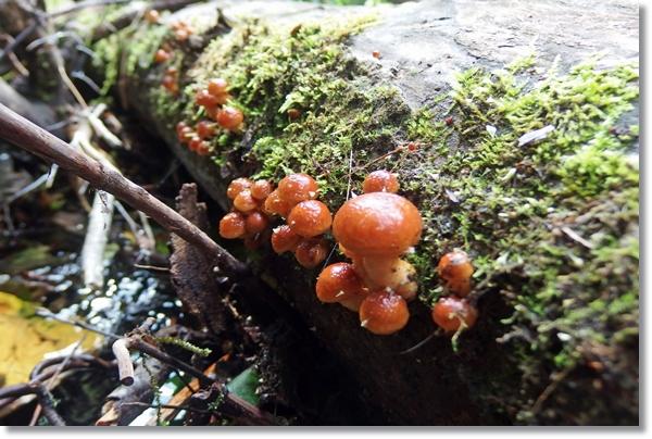 倒木に生えたナメコの幼菌