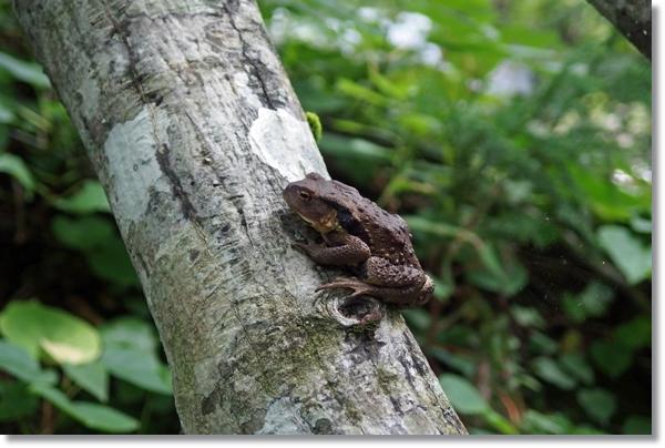 木の上で休むヒキガエル
