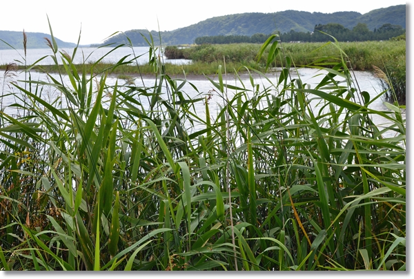 ヨシの向こうに広がる広大な沼