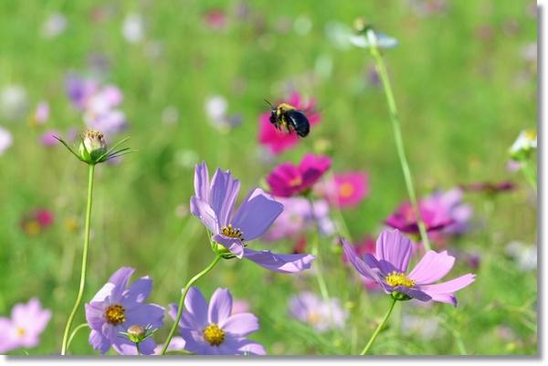 紫色のコスモスの花の上を飛び回るクマンバチ