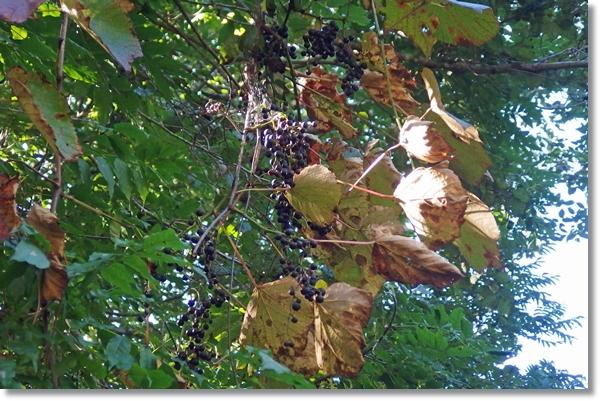 小高い木の上にたわわに実ったヤマブドウ