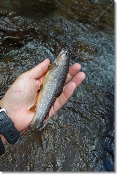 川の流れの上で掌にのるイワナ