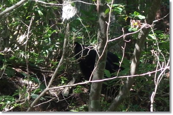 木々の間からこちらを見つめるツキノワグマ