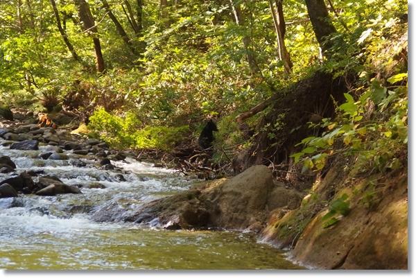 川岸から這い上がるツキノワグマ