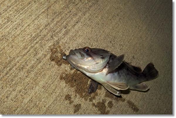 釣り糸がついたまま横たえられたクロソイ
