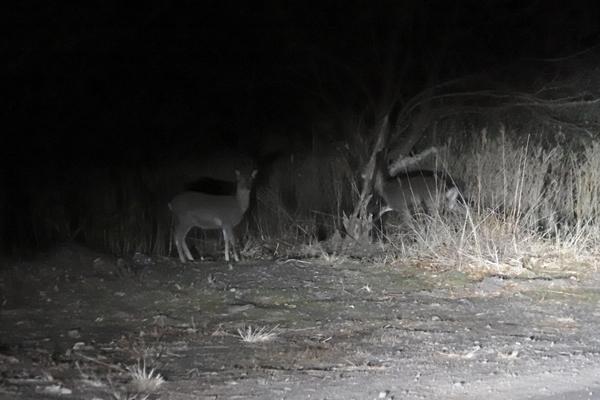 夜の草むらを歩く子鹿