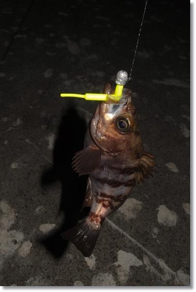 釣り上げられ、釣り糸にぶら下がったメバル