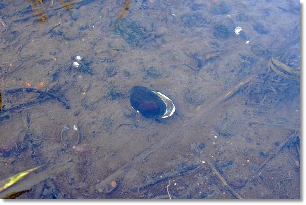 浅瀬にマシジミとヨコハマシジラガイの死骸