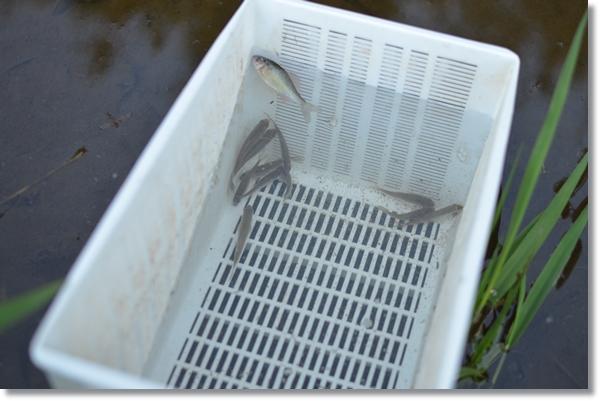 水に漬けた白い容器の中で泳ぐ数匹のタナゴ