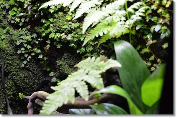 ビバリウムの壁面に活着したヒメイタビと苔類、その手前を覆うシダ類