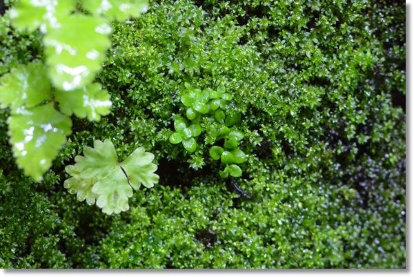 苔の絨毯の真ん中に少しだけ生えているキューバパールグラス