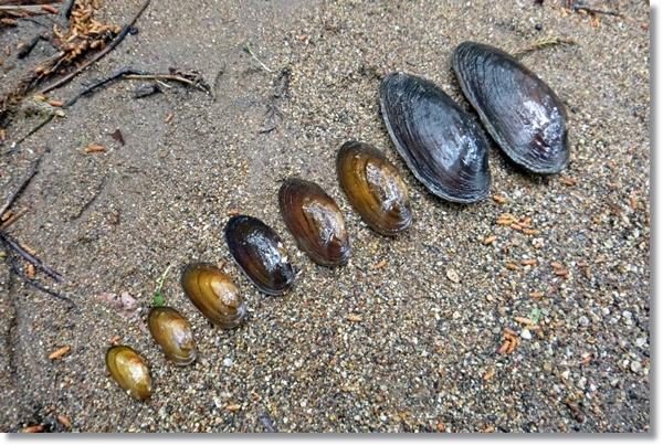 砂の上に大きさ順に並べられたカワシンジュガイ