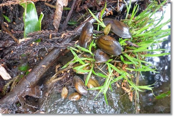 水辺の石の上に置かれた沢山のカワシンジュガイの稚貝
