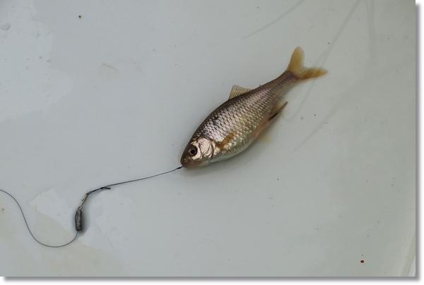 釣り針をくわえたまま白い盆に横たえられたマタナゴのメス