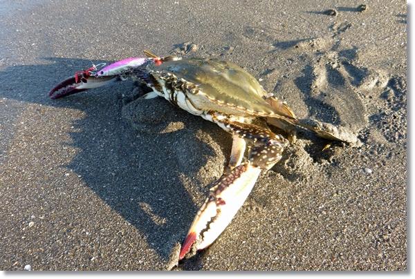 メタルジグで釣り上げられ砂浜に置かれたワタリガニ