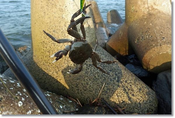 河口で釣り上げられ逆さ吊りされるモクズガニ