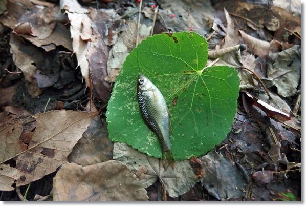 歯の上にのせられた釣り上げられた栃木アカヒレタビラ