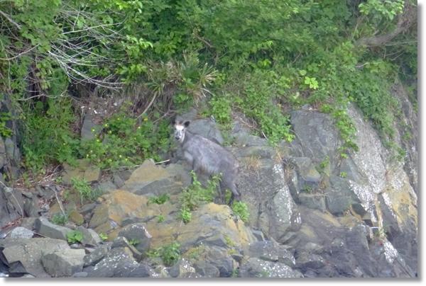 石巻市漁港に現れたカモシカ