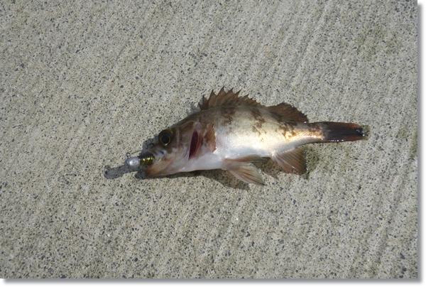石巻市の漁港で釣れた小さなメバル
