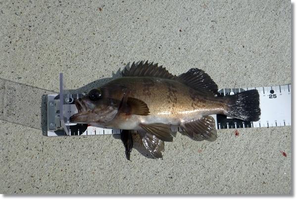 石巻の漁港で日中釣れた良型メバル