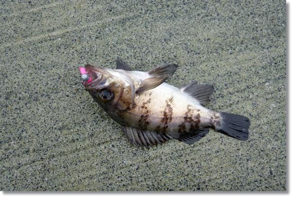十三浜で釣れた小メバル