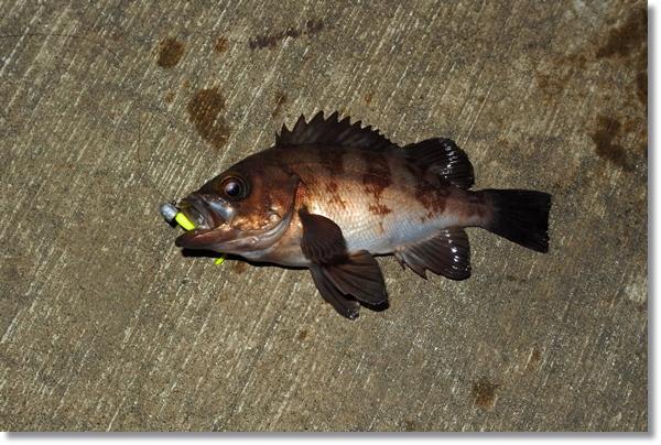 石巻十三浜で釣れた良型メバル