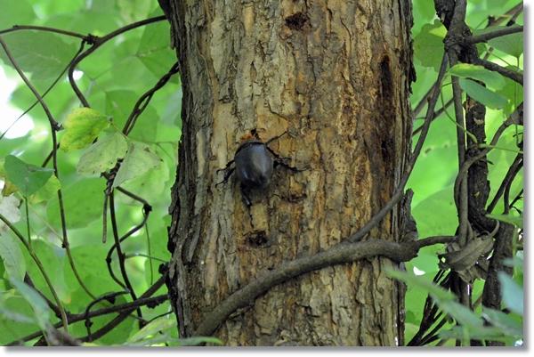 柳の樹液を吸うメスカブトムシ