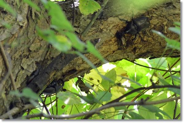 柳の樹液を吸うオスカブトムシとノコギリクワガタ