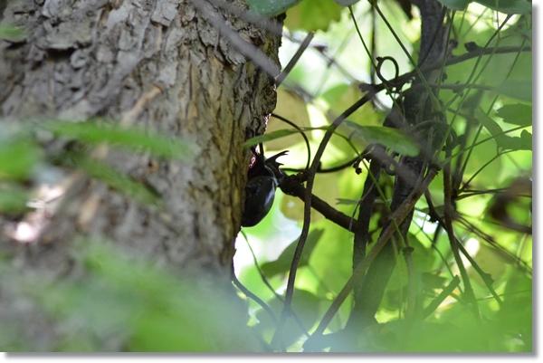 柳の樹液を吸うオスカブトムシ