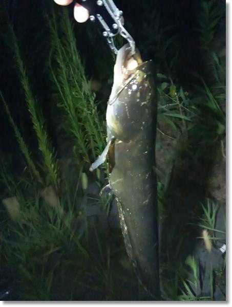 フィッシュグリップで持ち上げた汽水域で釣り上げたナマズ