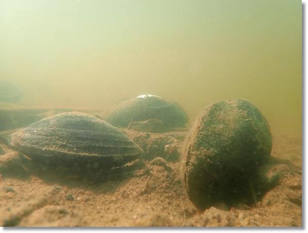 溜池の水中で写した3匹のドブガイ