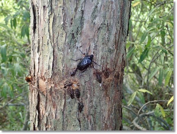河原の柳の樹液に集まる昆虫いろいろ
