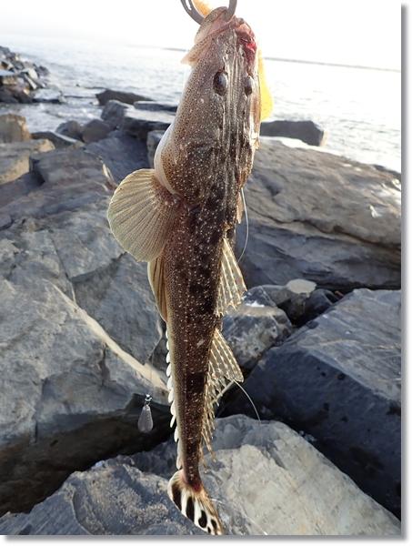 鳴瀬川河口で釣れたマゴチをフィッシュグリップで持ち上げる