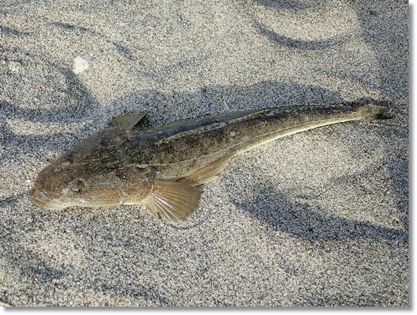 砂浜の上の野蒜で釣れたマゴチ