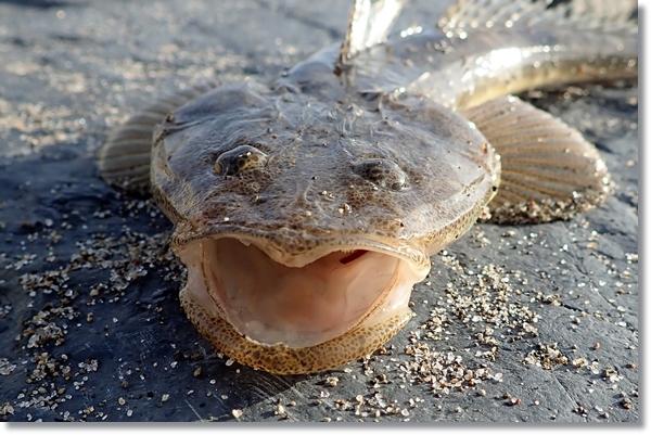 鳴瀬川河口で釣れたマゴチの顔のアップ