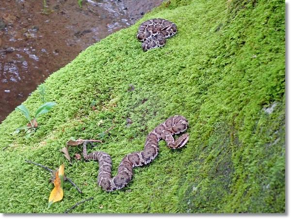 川岸の苔むした岩の上にのる2匹のマムシ
