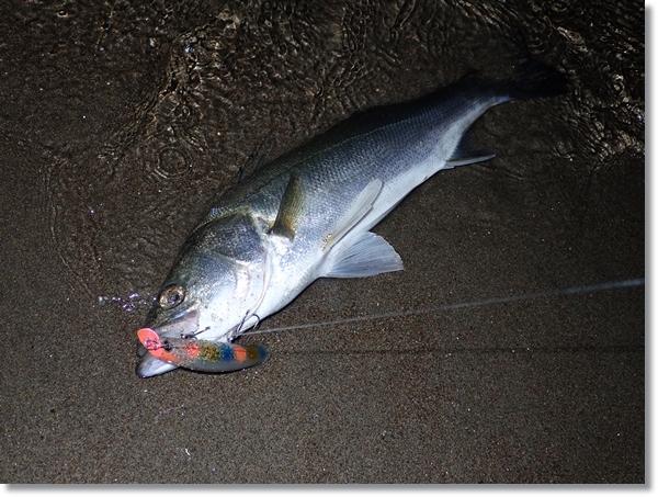 鳴瀬川河口で釣り上げたフッコ
