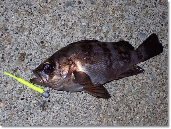 八戸港で釣れたメバル