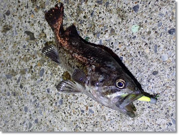 八戸港で釣れたクロソイ